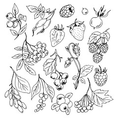 Vector set of different berries, line drawings.