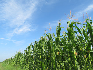 Green corn field and blue sky with clouds