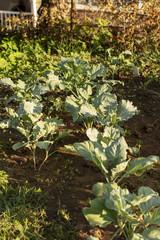 Bahçede yetişen sebzeler
