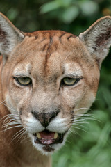 Portrait of Cougar, Puma (Puma concolor) close-up