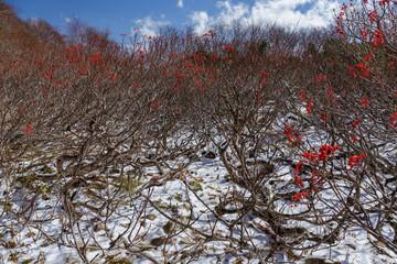 初冠雪した扇雪渓のナナカマド