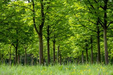 Junge Kastanienbäume im Frühling