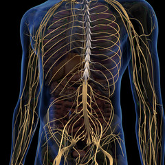 Nervous System Internal Anatomy in Male Chest and Abdomen