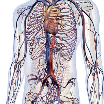 Male Internal Anatomy of Heart and Circulatory System