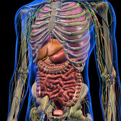Male Internal Anatomy of Chest and Abdominal Area on Black Background