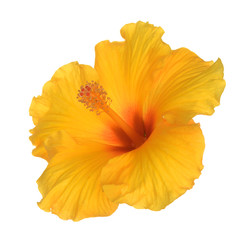 two third view of yellow hibiscus flower on white