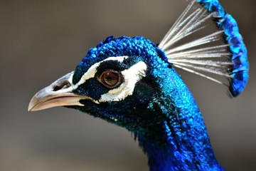 Close up head shot of a peacock