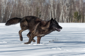 Fotomurales - Black Phase Grey Wolf (Canis lupus) Runs Right in Snowy Field