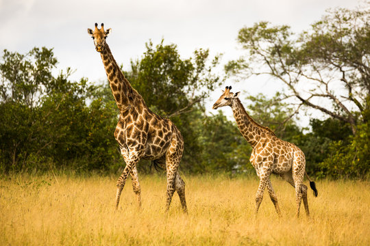 Mother Giraffe Walking with Her Calf in the Bush in South Africa