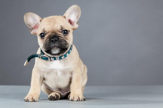 French Bulldog Puppy Wearing Rhinestone Collar