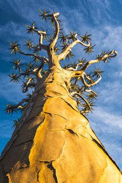 Quiver tree (Aloe dichotoma), Keetmanshoop, Namibia, Africa.