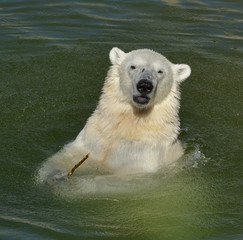 Portrait of funny young polar bear in water. Finnish Lapland