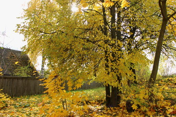 Autumn, October in the village - a tree with yellow falling leaves on the background of the old house