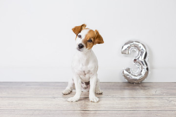 portrait of a cute small dog celebrating birthday, he is three years old. Standing over white background with a silver balloon with a 3 shape. Celebration concept