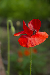 FLOWERS - red poppy on a green background