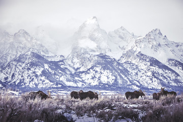 Group of moose grazing on field against snow covered mountains at Grand Teton National Park