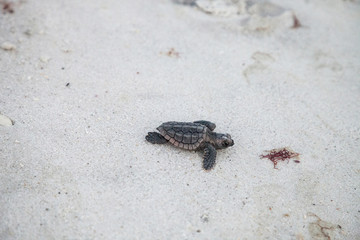 Hatchling baby loggerhead sea turtles Caretta caretta climb out of their nest