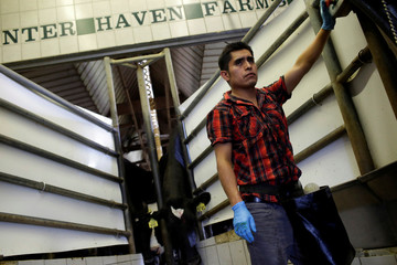 A worker waits to release dairy cattle back to their stalls after miking at Hunter Haven Farms in Pearl City