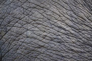 ゾウの皮膚