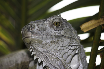 White Scaled Green Eyed Iguana Close-up