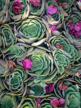 Top down view of succulents with bright pink bougainvillea flowers having fallen on top.