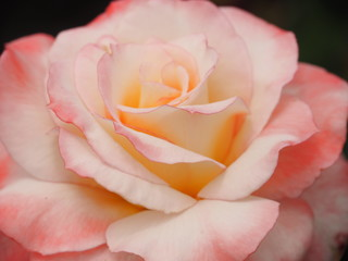 Closeup of Light Pink Tipped Rose