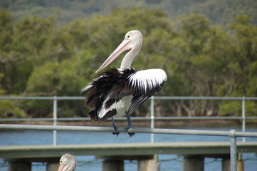 A pelican near Pelican Island in the area of Brisbane Waters in New South Wales / Australia