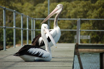 Pelicans near Pelican Island in the area of Brisbane Waters in New South Wales / Australia