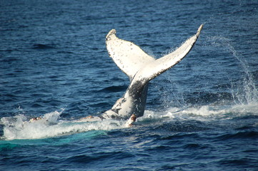 Fluke of a humpback whale off the coast of Sydney only about 500 metres (1500 feet) from shore. Shot in September.