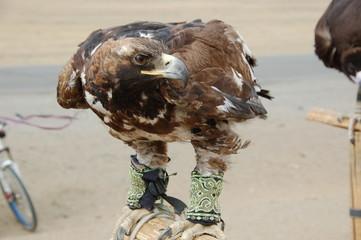 Tamed eagle near Ulan Bator/Mongolia