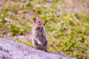 A ground squirrel is enjoying a sunny day