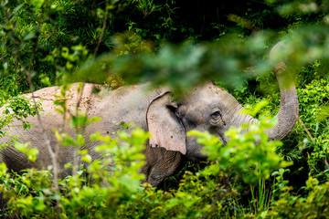 Asian wild elephant Kuiburi National Park, Thailand