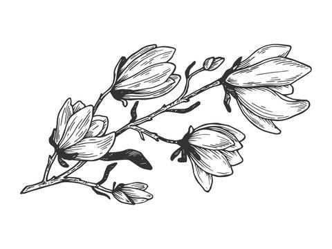 Magnolia branch engraving vector illustration