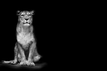 Poster - Posing black and white lioness