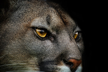 Poster - Close-up of cougar