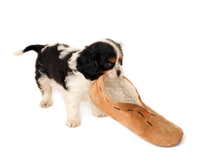Dog with slipper