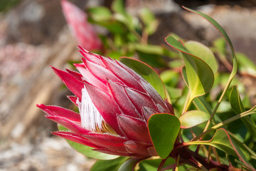 Red King Protea Bud in Australian environment at Mount Tomah Botanic garden in the Blue Mountains.