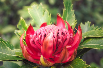 Native Australian wild waratah flower bathed in the sunset light at Mount Tomah Botanic Garden in the Blue Mountains, New South Wales, Australia.