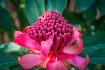 Soft light on a wild pink waratah native flower at Botanic Garden in Blue Mountains, Australia.