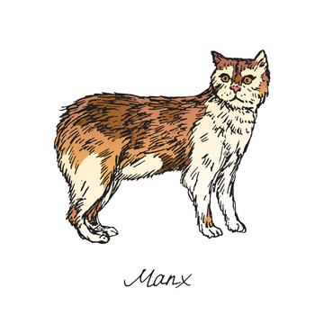 Manx, cat breeds illustration with inscription, hand drawn colorful doodle, sketch, vector