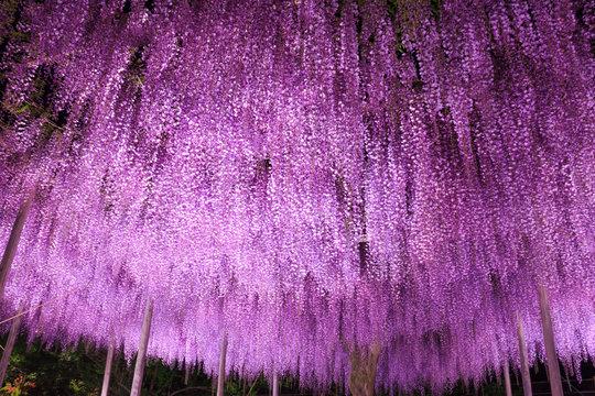 Beautiful view of Great purple wisteria trellis at night at Ashikaga Flower Park, Japan. Nature Travel, Natural Beauty  concept.
