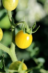 Yellow Tomato, Peach-shaped, Close-up