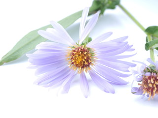 flower aster perennial on a white background Wall mural
