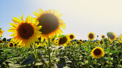 Mature sunflower flowers in the sun