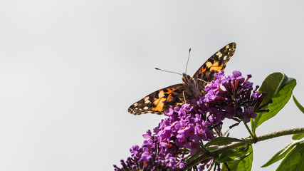 Painted Lady Above