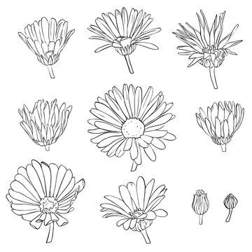 vector set of drawing calendula flowers