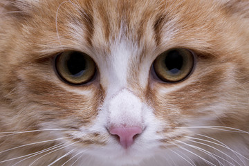 Red-headed cat,eyes and nose macro