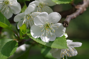 flower cherry tree