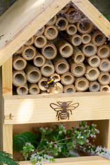 Bumblebee or Bumble bee in an insect hotel- house