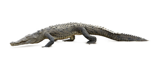 Isolated on white background, American Crocodile, Crocodylus acutus walking on the sandy beach. Crocodile in its natural environment. Tarcoles river, Costa Rica.